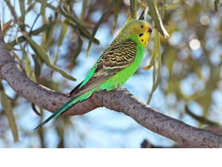 Smyth Seeds Small Wild Bird (Budgie)